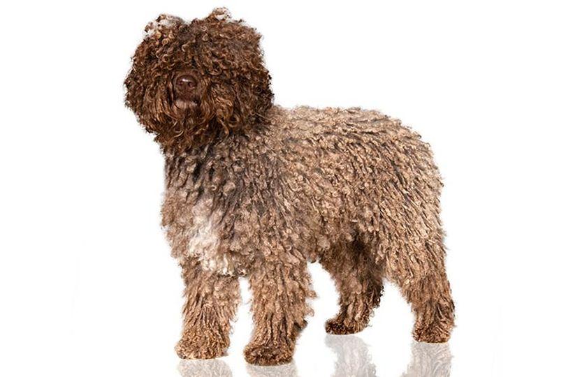 Primary image of Spanish Water Dog dog breed