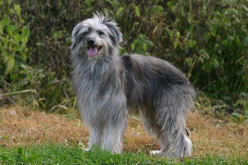 Primary image of Pyrenean Shepherd dog breed