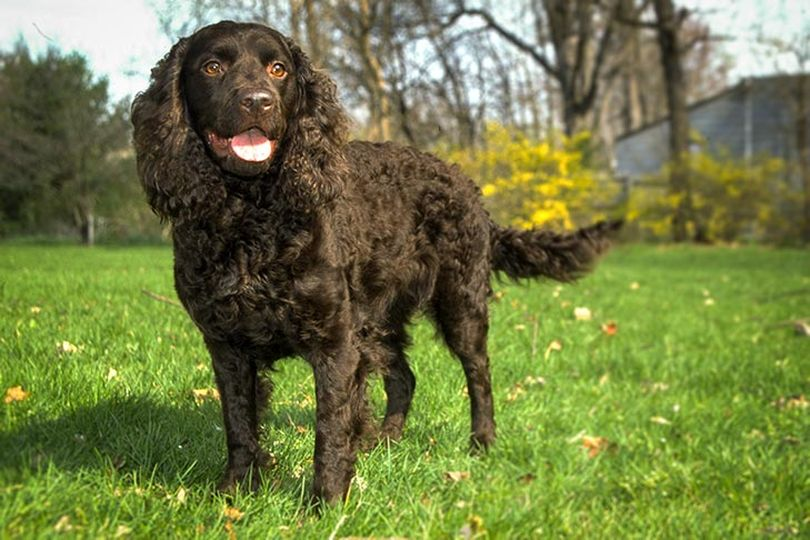 Primary image of American Water Spaniel dog breed