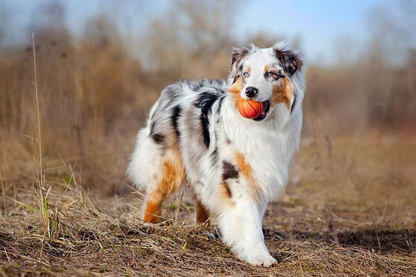 Primary image of Australian Shepherd dog breed
