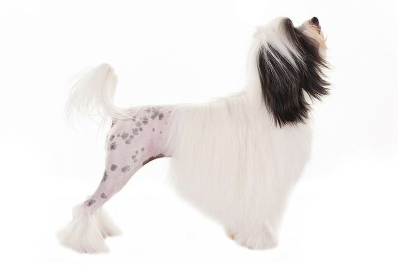 Primary image of Lowchen dog breed