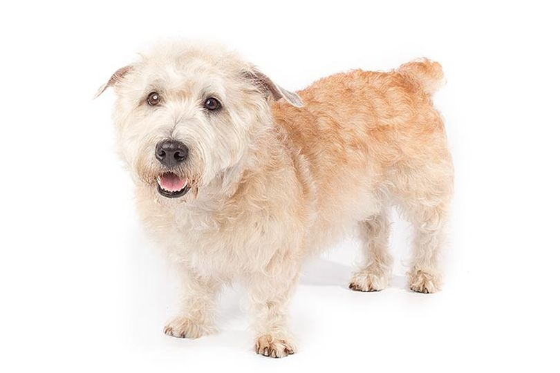Primary image of Glen of Imaal Terrier dog breed