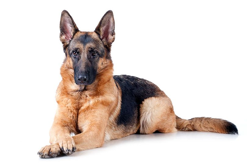 Primary image of German Shepherd dog breed