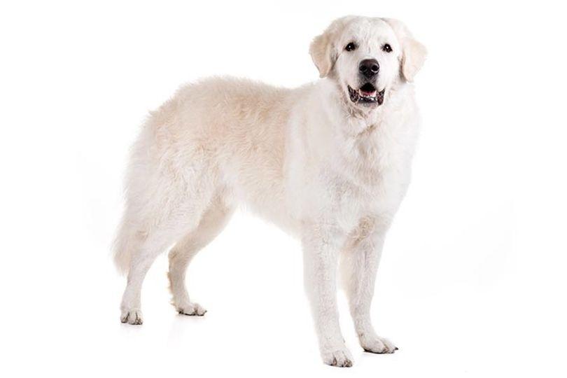 Primary image of Kuvasz dog breed