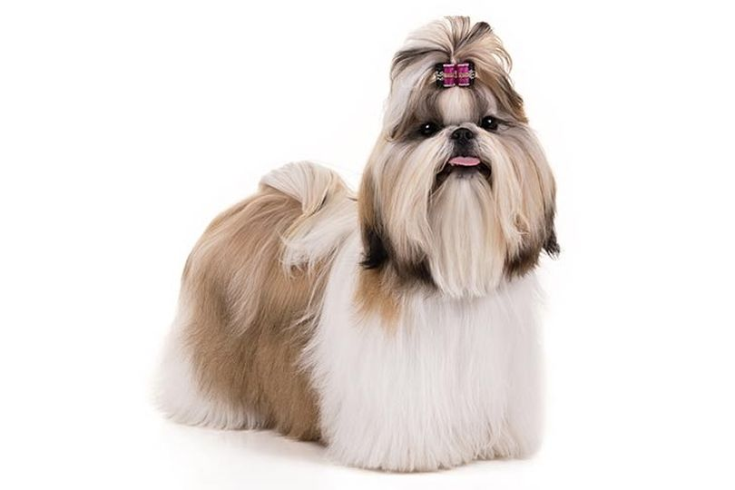 Primary image of Shih Tzu dog breed