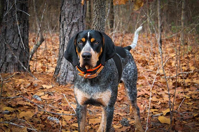 Primary image of Bluetick Coonhound dog breed