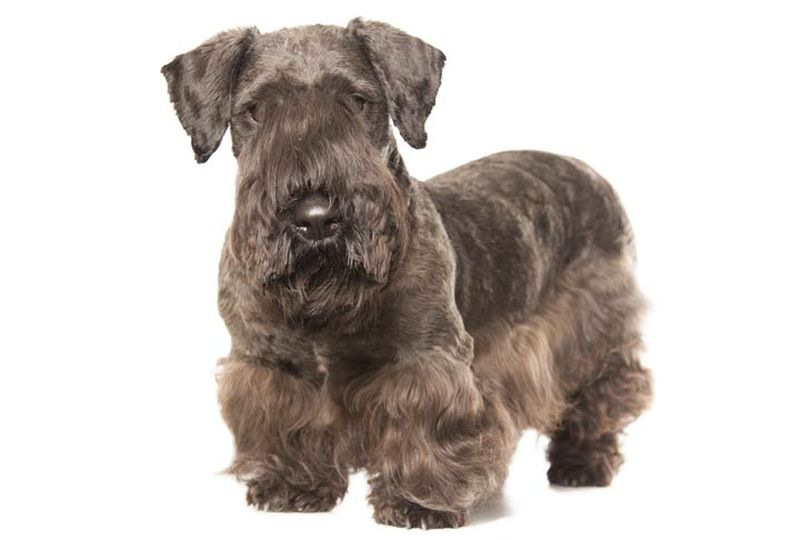 Primary image of Cesky Terrier dog breed