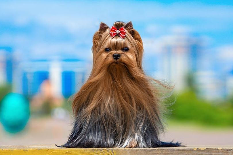 Primary image of Yorkshire Terrier dog breed