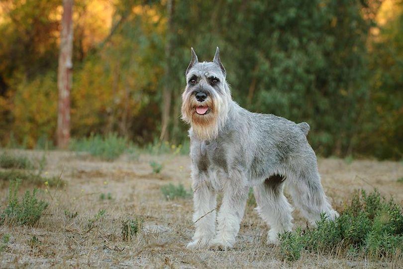 Primary image of Standard Schnauzer dog breed
