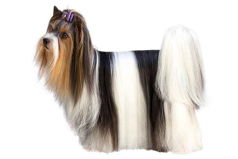 Primary image of Biewer Terrier dog breed