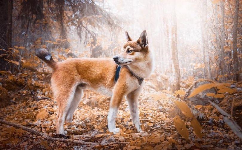 Primary image of Norwegian Lundehund dog breed