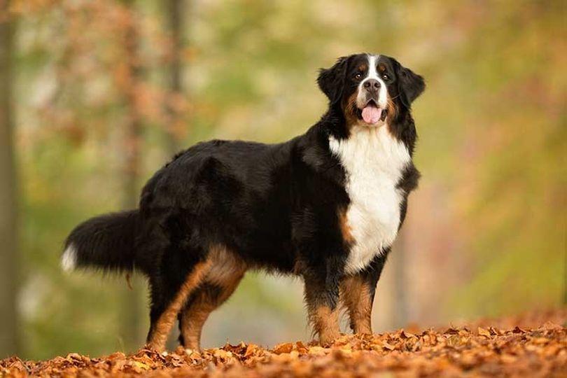 Primary image of Bernese Mountain Dog dog breed