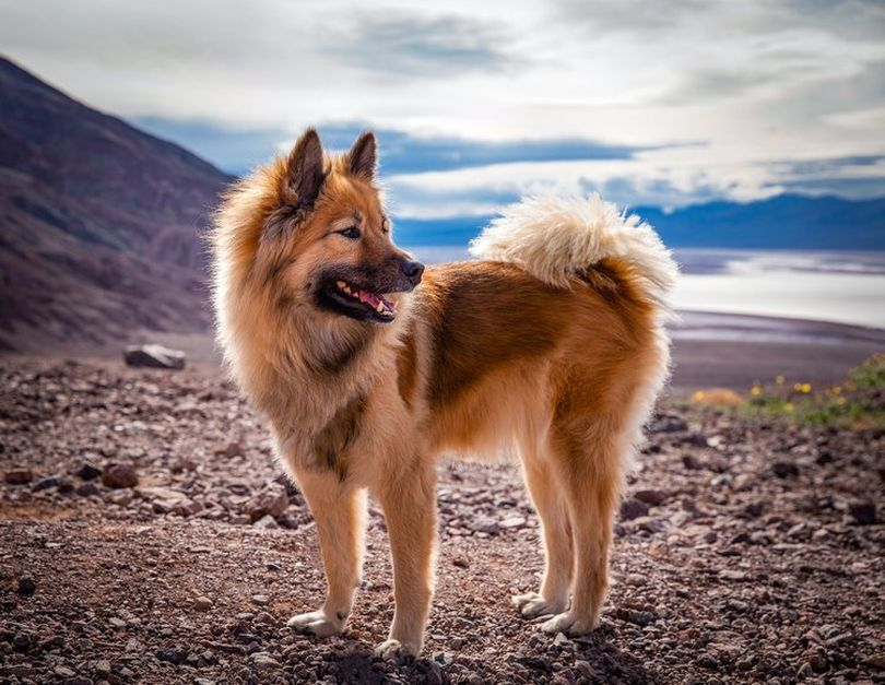 Primary image of Eurasier dog breed
