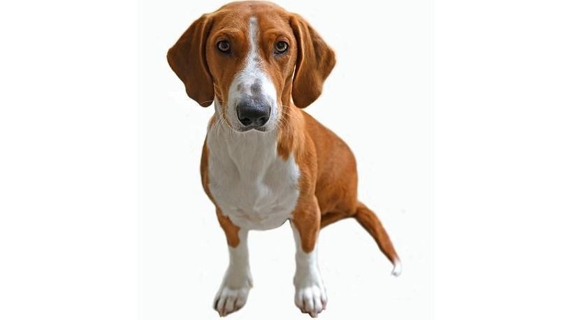 Primary image of Drever dog breed