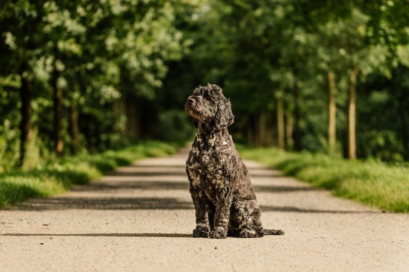 Primary image of Portuguese Water Dog dog breed
