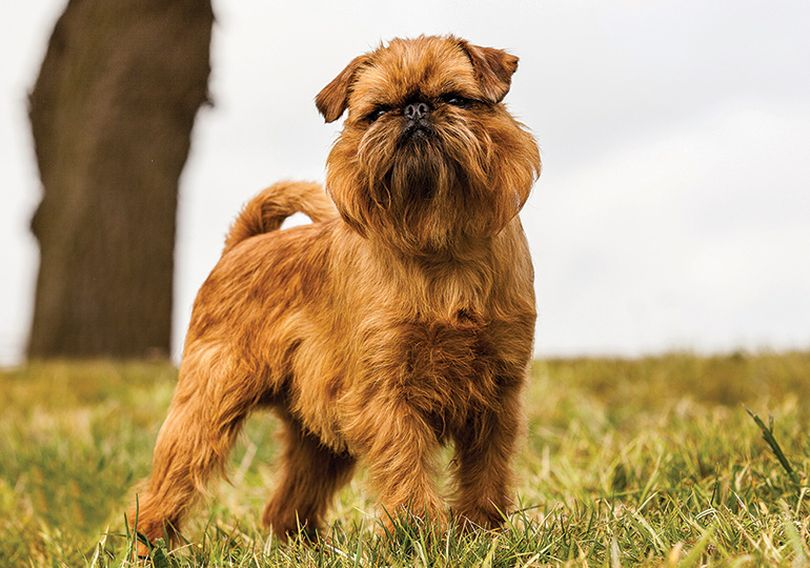 Primary image of Griffon Bruxellois dog breed