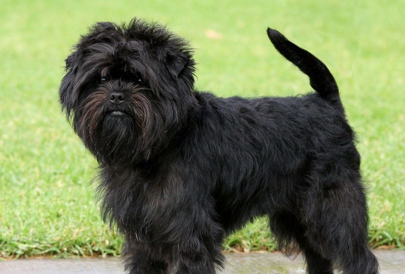 Primary image of Affenpinscher dog breed