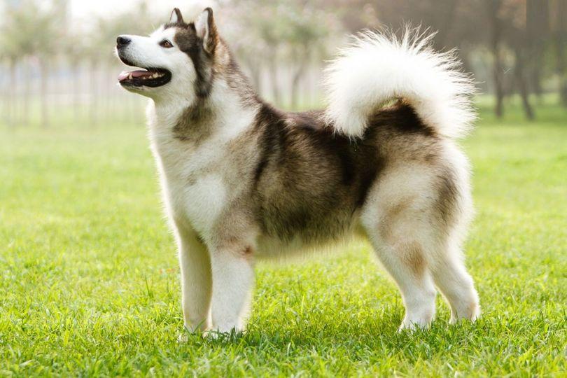 Primary image of Canadian Eskimo Dog dog breed