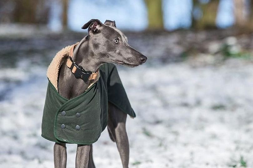 Primary image of Whippet dog breed