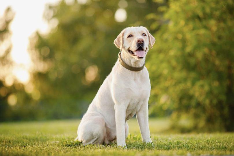 Primary image of Labrador Retriever dog breed