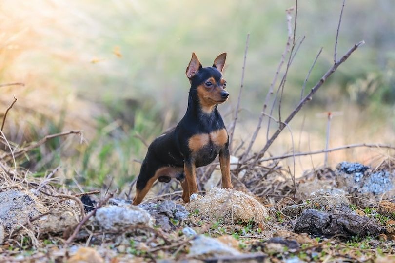 Primary image of Miniature Pinscher dog breed