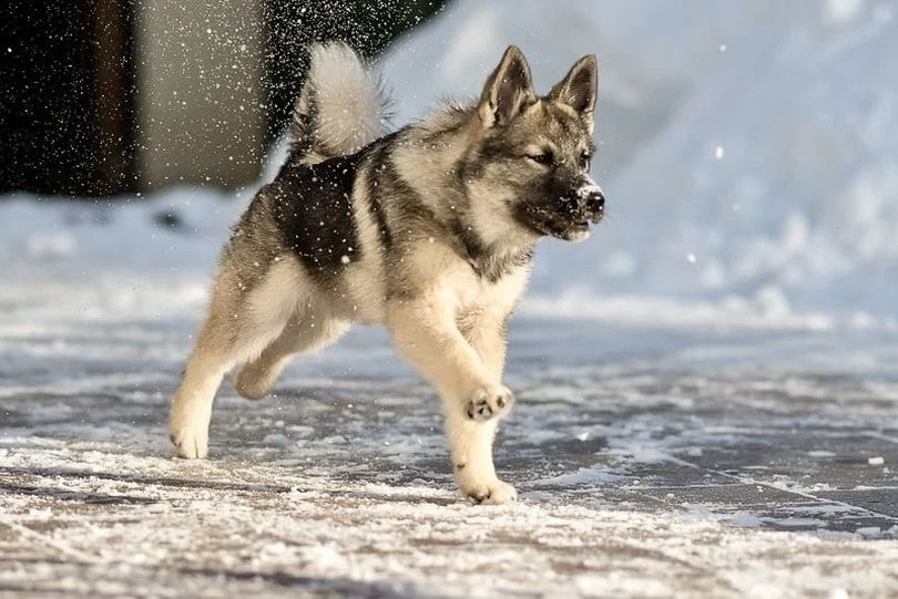 Primary image of Norwegian Elkhound dog breed