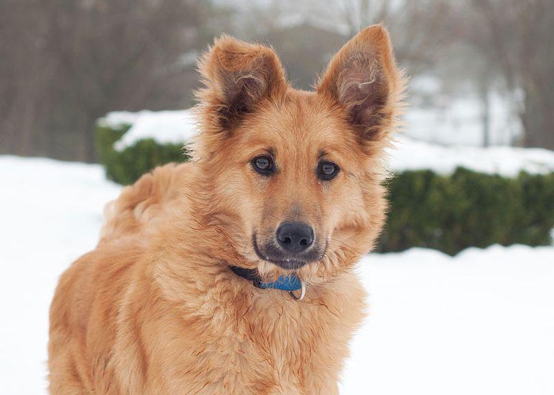 Primary image of Basque Shepherd Dog dog breed