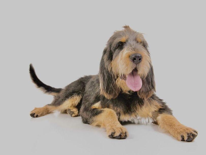 Primary image of Otterhound dog breed