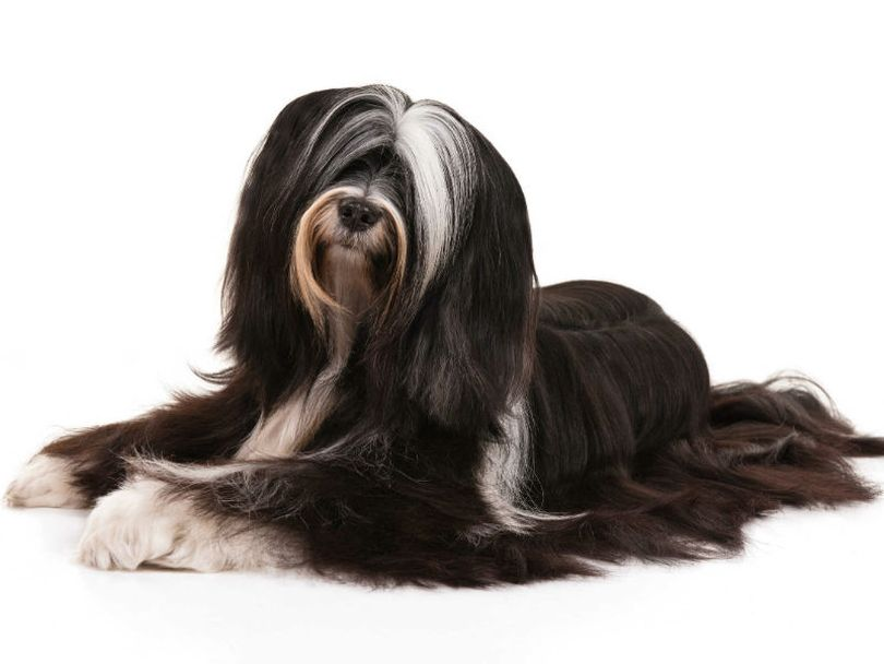 Primary image of Tibetan Terrier dog breed