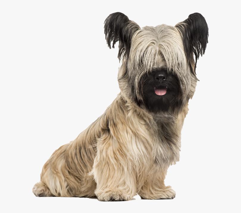 Primary image of Skye Terrier dog breed
