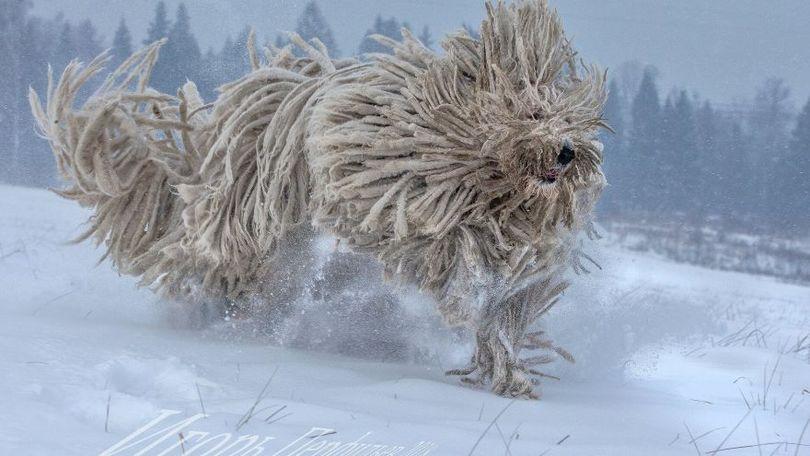 Primary image of Komondor dog breed