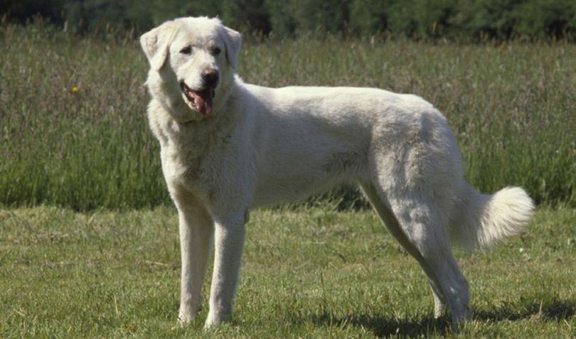 Primary image of Akbash Dog dog breed