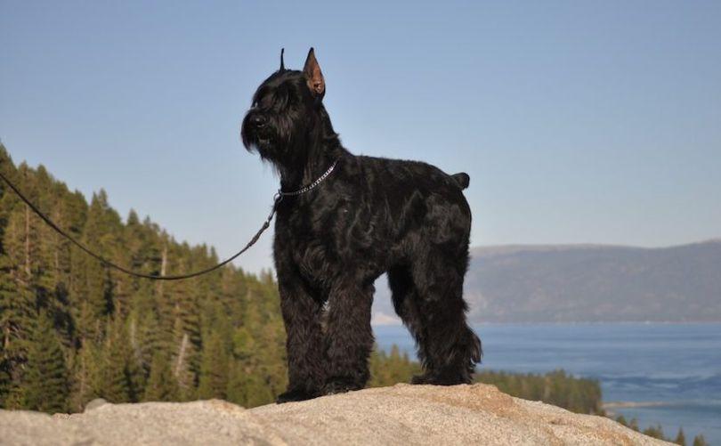 Primary image of Giant Schnauzer dog breed