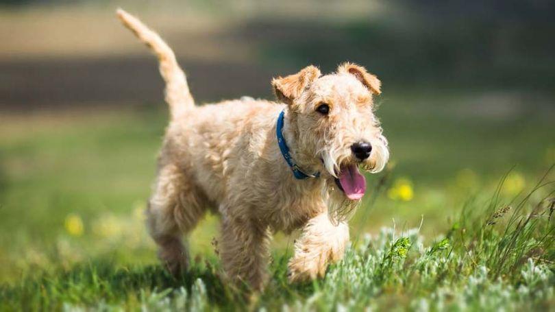 Primary image of Lakeland Terrier dog breed