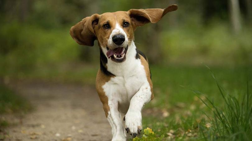 Primary image of Basset Artesien Normand dog breed