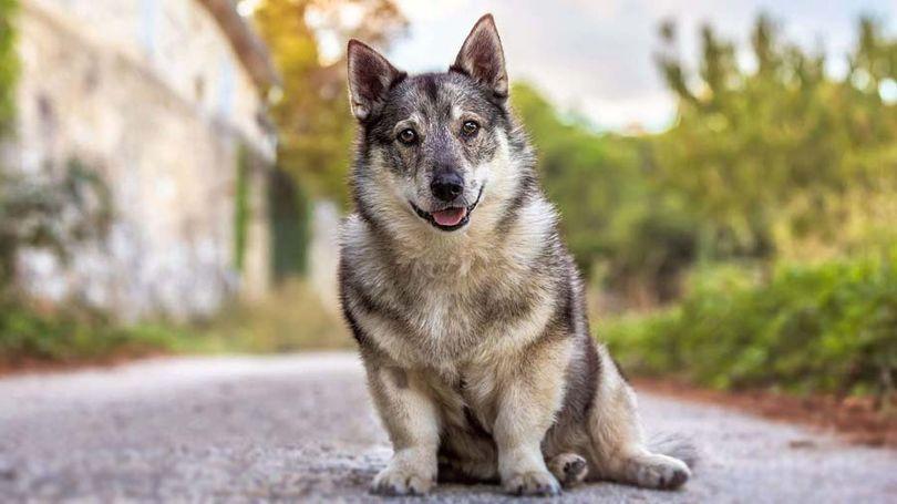Primary image of Swedish Vallhund dog breed