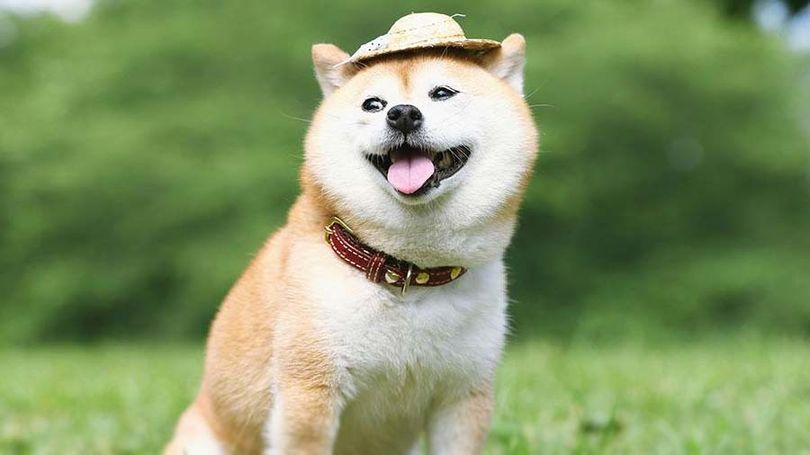 Primary image of Shiba Inu dog breed