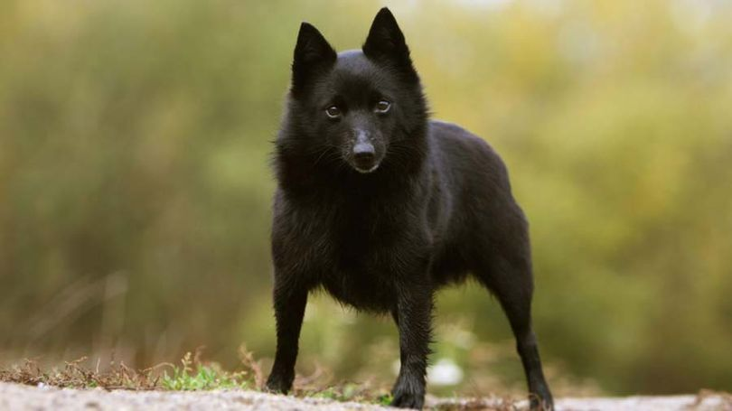 Primary image of Schipperke dog breed