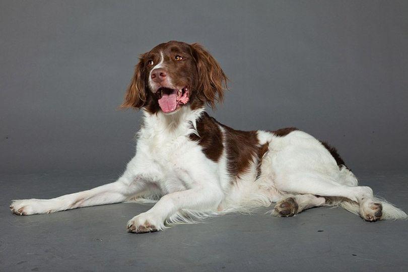 Primary image of Drentsche Patrijshound dog breed