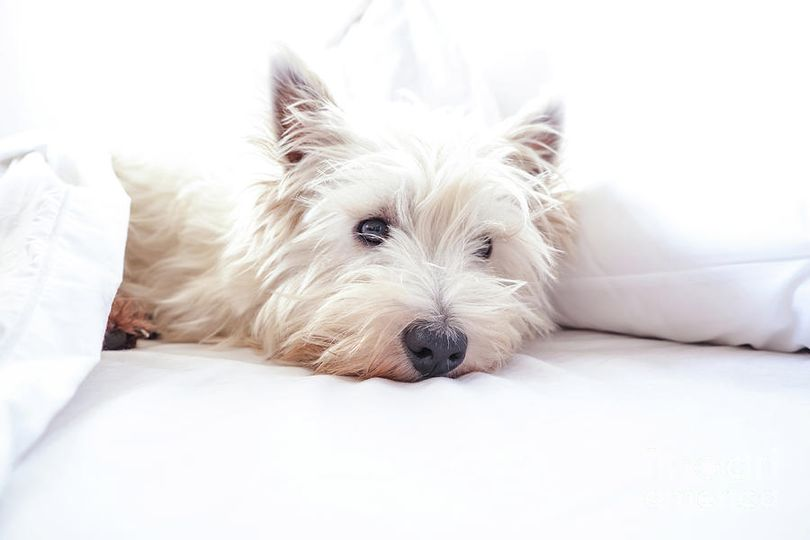 Primary image of West Highland White Terrier dog breed
