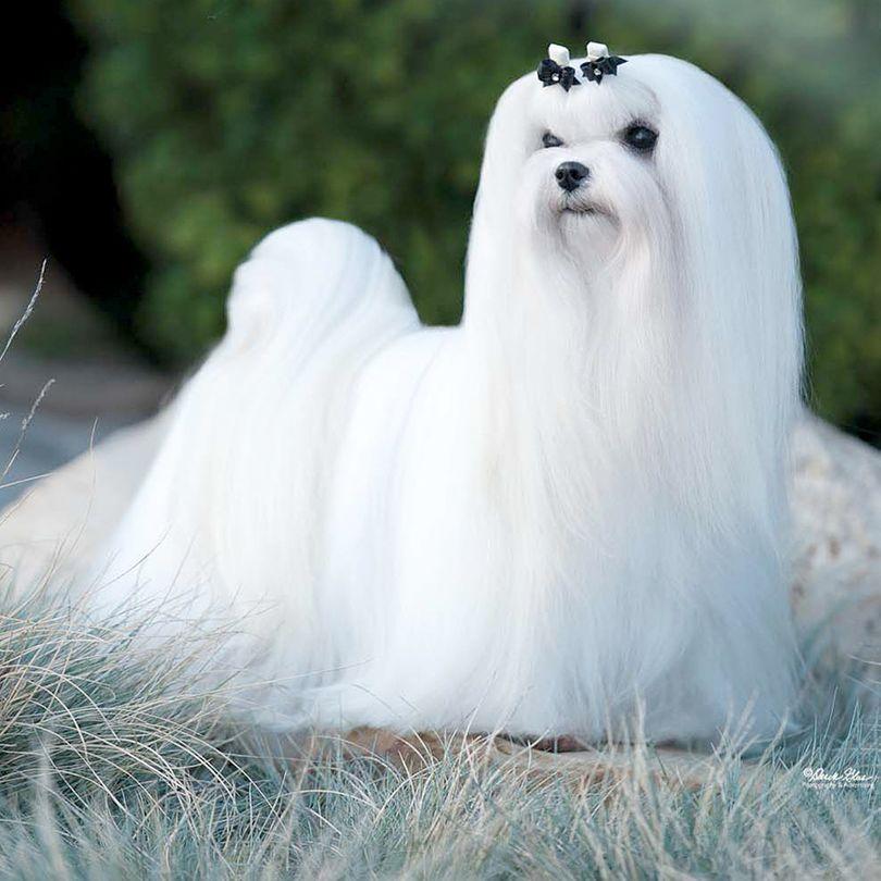 Primary image of Maltese dog breed