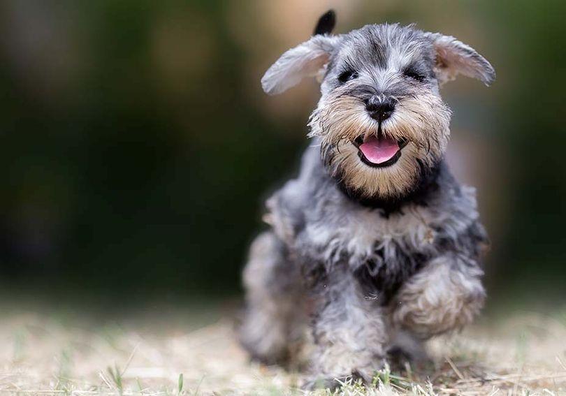 Primary image of Miniature Schnauzer dog breed
