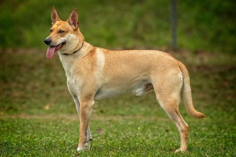 Primary image of Carolina Dog dog breed