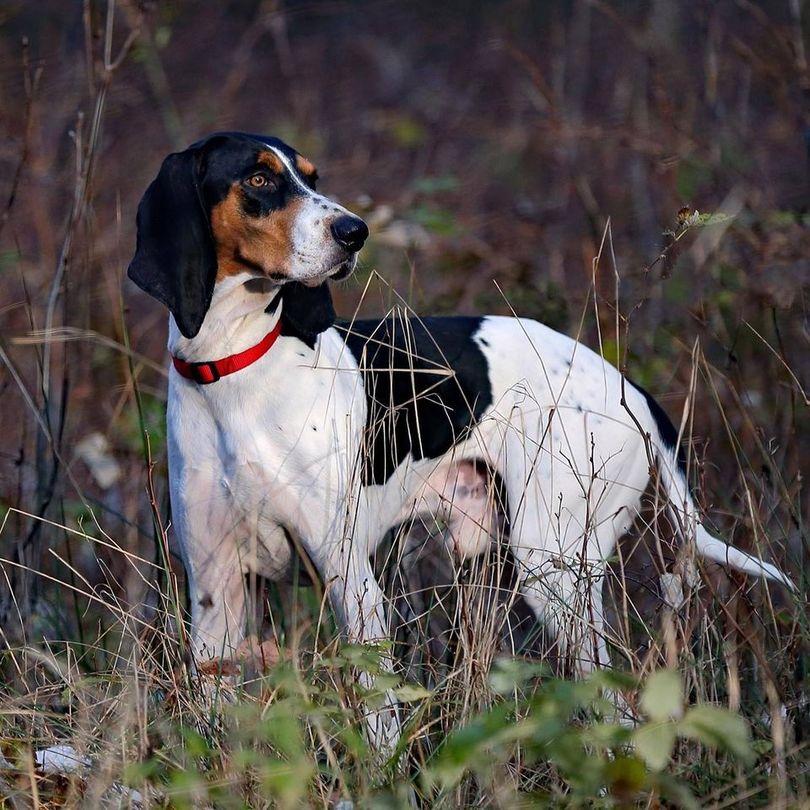 Primary image of Berner Laufhund dog breed