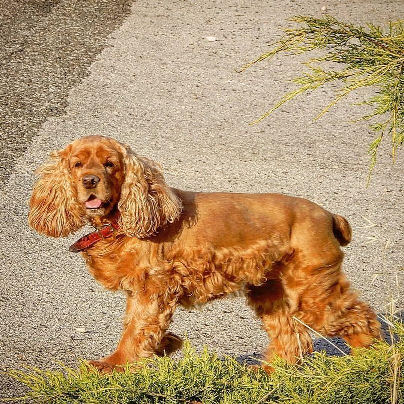 Primary image of Cocker Spaniel dog breed