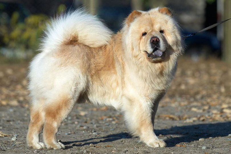 Primary image of Chow Chow dog breed