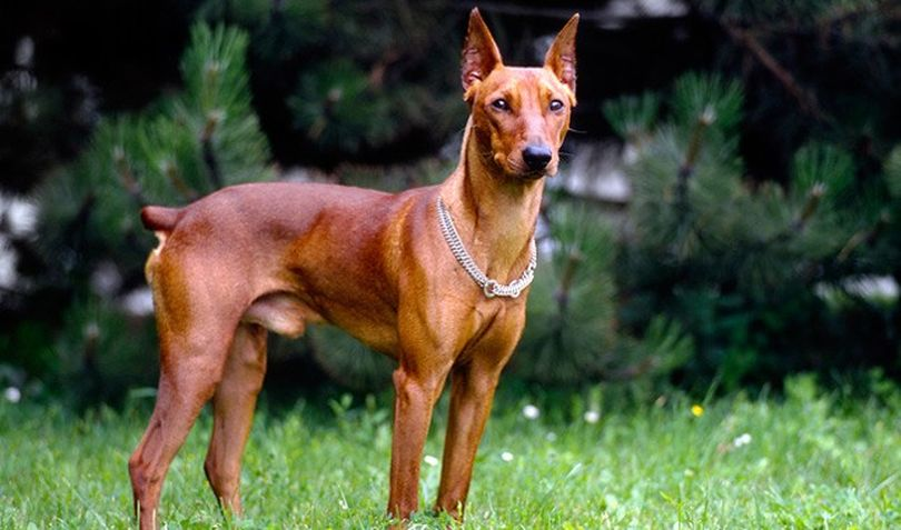 Primary image of German Pinscher dog breed