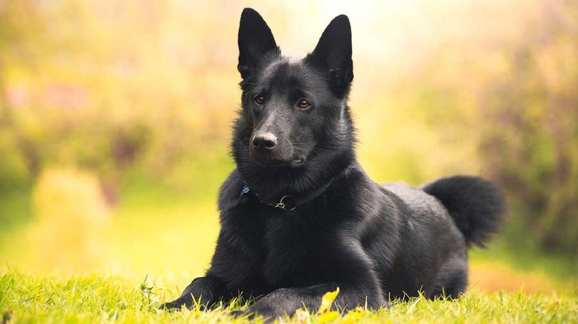 Primary image of Black Norwegian Elkhound dog breed