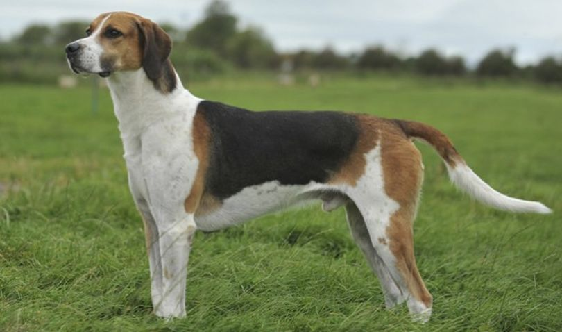 Primary image of Black And Tan Virginia Foxhound dog breed