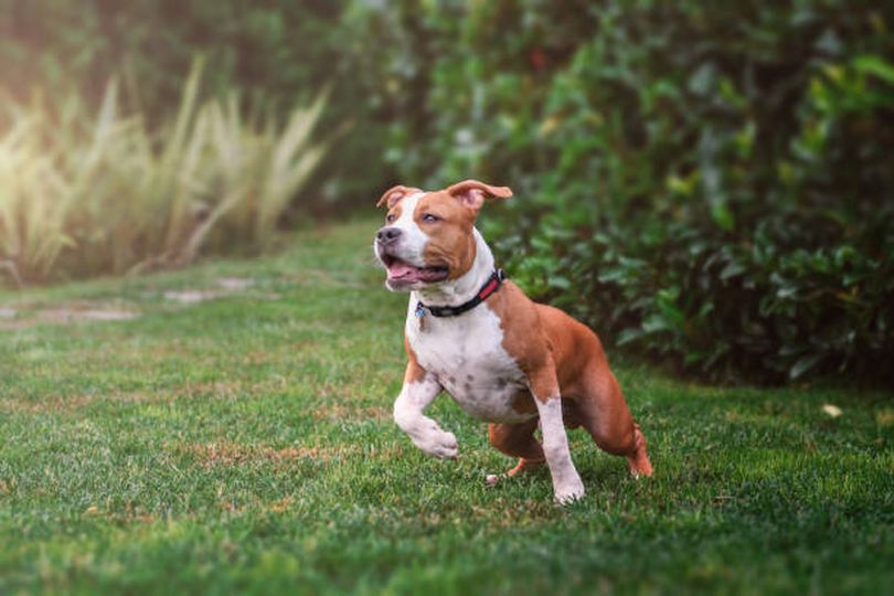 Primary image of American Pit Bull Terrier dog breed